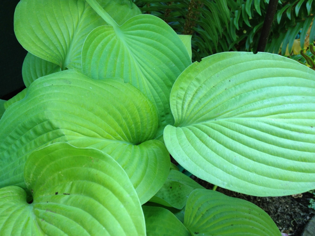 One of our hostas